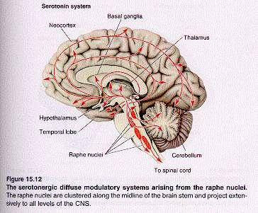 serotoninasistem.jpg